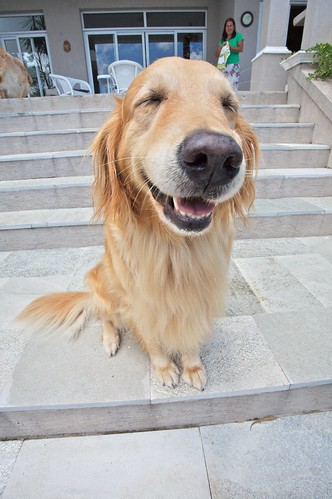 Funny golden retriever photo