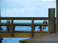 waiting for their daddy (yellow_birds) Tags: ocean blue vacation sky dog cute love beach beagle dogs gulfofmexico water animals keys gulf princess weekend getaway adorable deck cameron villa romantic miko islamorada tiffany coconuts floridakeys englishcockerspaniel thekeys whitegatecourt
