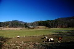 Winter Grazing (Let Ideas Compete) Tags: county winter horses horse usa sc america fence landscape us appaloosa scenery farm south united southcarolina carolina states oconee appalachain palmettostate