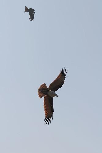 Eagle?