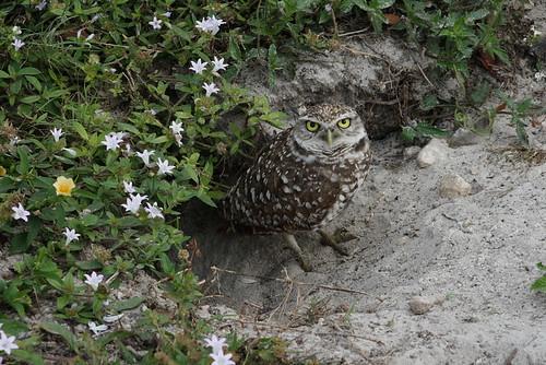 burrowing owls 1-26-08 093