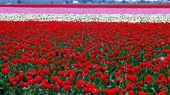 There and back again (littlebiddle) Tags: flowers washington tulips flor skagitvalley tulipn tulipagesneriana