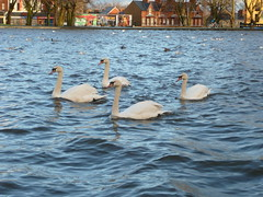 swans at the bottom pond (willsytrunks) Tags: park belfast waterworks antrimroad