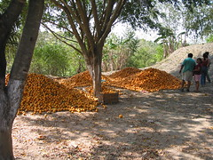 orange harvest (terrapinneck) Tags: mexico missiontrip valles tamul xilitla aquismon centralbaptist prescottmissiontrip