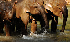 The Laughing Elephants (CiaoChessa) Tags: water fun thailand nose bath asia seasia north jungle laugh chiangmai elephants snout sosweet ciaochessa diamondclassphotographer monicalshulman copyrightmonicalshulman butitwassoworthit wewenttoanelephantcampinnorthernthailand theseanimalsweresoloveable theyareverywelltakencareofatthisparticularcamp werodeonethroughthejungle ipreferredgoinguphillanddougpreferredgoingdownhill iheldonfordearlife lookathowtheysmileandplayinthewater andtheyhavethelongesteyelashesihaveeverseen