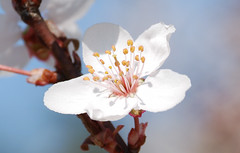 A nice white apricot flower (Teo's photo) Tags: flowers white flower macro nature whiteflower natura apricot fiori fiore apricotflower albicocco fiorebianco d40x fioredialbicocco