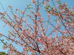 青葉の森公園の河津桜