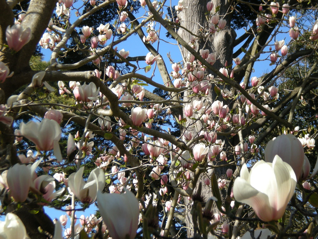 The Worlds Best Photos Of Magnolia And Strybing Flickr Hive Mind