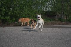 Pups at Play.JPG (btoddpuls) Tags: dog dogs husky jo german napoleon buster shepard