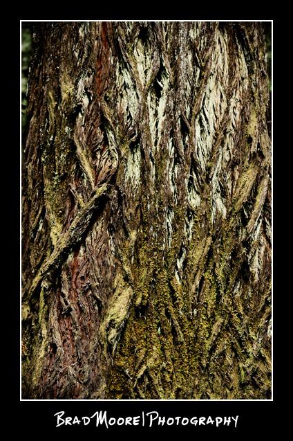 Redwoods_Mossy_Bark