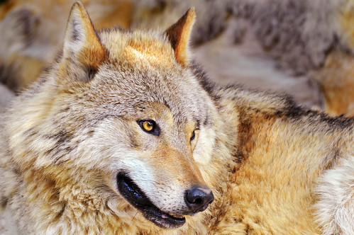 Portrait of a lying wolf 3 by Tambako the Jaguar.