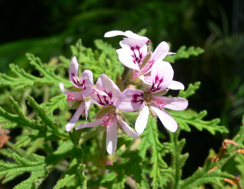 Botánica Aplicada. Terpenos y Plantas Productoras 2542593316_bc5764759d