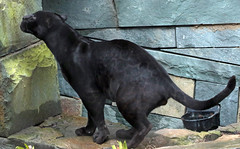 jaguar Mowgli artis BB2A2289 (j.a.kok) Tags: jaguar blackjaguar mowgli artis predator mammal zoogdier kat cat pantheraonca zuidamerika southamerica