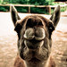 ein lama ohne hut
