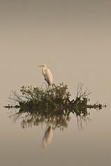 Great egret (Gurusan2010) Tags: greategret ardeaalba casmerodiusalbus tamilnadubirds