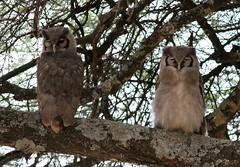passing daytime (AnyMotion) Tags: animals birds bird nature wildlife africa tansania owl tiere afrika tanzania anymotion birdofprey raptor raubvogel