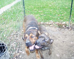 Mastweilers: Ivy & Napoleon (muslovedogs) Tags: ivy napoleon mastweiler zeusoffspring myladyoffspring daisyoffspring lilboyoffspring
