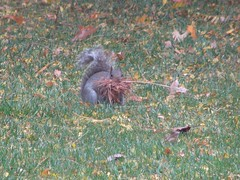 Thanksgiving squirrel
