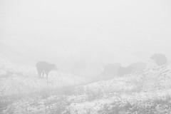 Cows in the fog (Armando Martinez) Tags: ranch bw white mist snow fog cow colorado denver calf bouder supeior