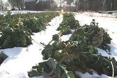 brocolli row