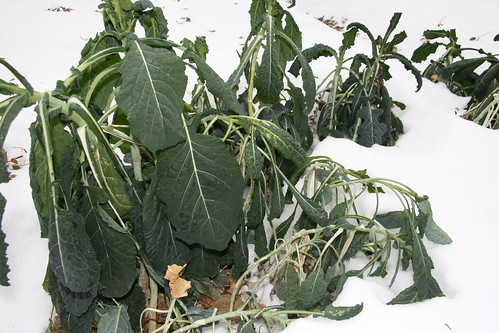 kale in the snow
