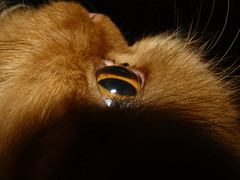 Garfi-My Eye (E.L.A) Tags: family orange pet pets macro cute eye nature animal closeup cat turkey fur photography persian orangecat kitten feline kittens explore kitties mostinteresting cateyes ideas domesticanimals garfield ankara domesticcat kedi mylove garfi oneanimal pisi catphotos oreengeness bestcatphotos differentcatbreeds