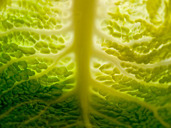 C2020460 (cbmd) Tags: green yellow backlight translucent vein veins savoycabbage veined wirsing 1454mm contrejoure zukiodigital