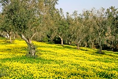 Yellow Field (Fr Antunes) Tags: flower verde green luz portugal field yellow rural canon wonderful eos oliver flor explore amarelo olives campo february fr aceitunas silvestre fevereiro antunes bucelas woodsorrel dourada loures oliveiras azeitonas oxalispescaprae azedas 400d superbmasterpiece ilustrarportugal srieouro frantunes