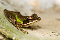 DSC_3297.jpg (Kurt (orionmystery.blogspot.com)) Tags: brown macro reflection green eye closeup diy big eyes hill plate frog round vein styrofoam froggy diffuser bukit gasing