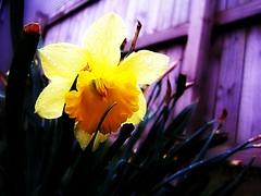 In the Rain (mightyquinninwky) Tags: flower green rain yellow kentucky lexingtonkentucky fontaineroad fayettecountykentucky centralkentucky thebluegrassstate