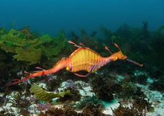 Weedy sea dragon, by doug.deep
