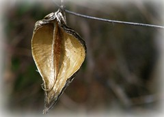 aging gracefully (circulating) Tags: light beauty golden pod bokeh tennessee milkweed graceful spent caneycreek