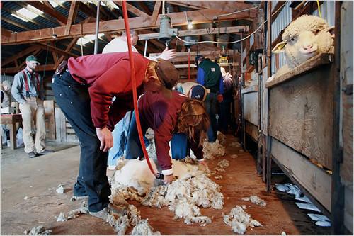 NY Times Sheep
