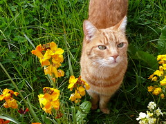 Narnie in the wallflowers (Scorpions and Centaurs) Tags: flowers orange pet yellow cat garden ginger feline tabby meow sweetie wallflowers narnie