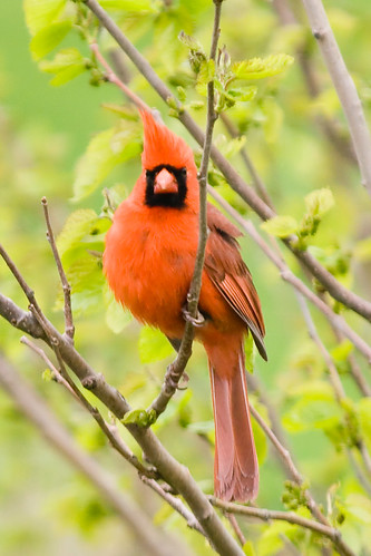 Disapproving Cardinal