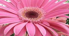 Pretty in Pink (Lisbeth Westra) Tags: pink flower blomst lyserd simplyflowers gebra