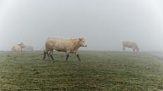 Troupeau dans la brume 1 (domingo4640) Tags: vache troupeau champ agriculture campagne elevage brume