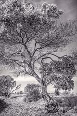 Tree in Sun & Clouds- MLK Regional Shoreline (luqmac) Tags: nikond7100 landscapesscenic martinlutherkingjrregionalshoreline oaklandcalifornia cityofoakland 66thave edgewaterdrive eastbayregionalparkdistrict eastoakland trees oakland california usa
