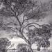 Tree in Sun & Clouds- MLK Regional Shoreline