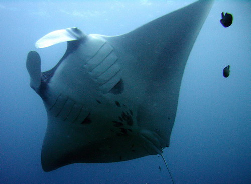 The belly of a Manta Ray. These things were massive, amazing and just as curious about us as we were about them. (taken by some German guy on our boat)