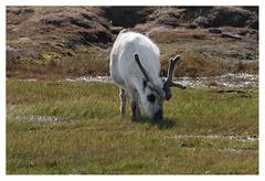 Reindeer (leo.roos) Tags: reindeer minolta svalbard arctic caribou spitsbergen rendier a700 rangifertarandus darosa rangifertarandusplatyrhynchus minolta40045 leoroos