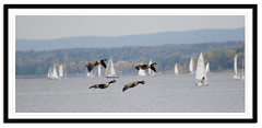 With the Wind (Kadacat (Marlene)) Tags: flying geese inflight scenic sailboats canadageese andrewhaydonpark mywinners thechallengegame