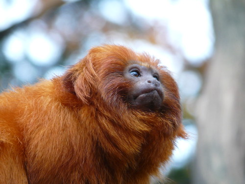 Golden Lion Tamarin (only a few left)