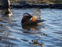 Aix galericulata, Mandarin Duck (lophura) Tags: duck display mandarin aviary mandarinduck waterfowl captive aixgalericulata woodduck cowell courtship anatidae aviculture perchingduck animalwonders gbwf