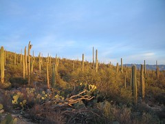 sunset light on cacti (azhiker_grrl) Tags: cactus nature desert hike saguaro blackettsridge
