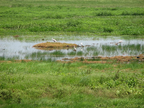 Royal Spoonbills at Fogg Dam