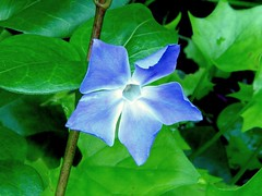 Large Periwinkle (Vinca major)