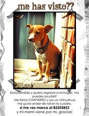 No esta perdido, est no-encontrado.. (marce_garal) Tags: dog pet brown chihuahua cute love lost model chaparro chapis sincesunday