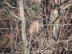 Sleeping barred owl Front yard 012008
