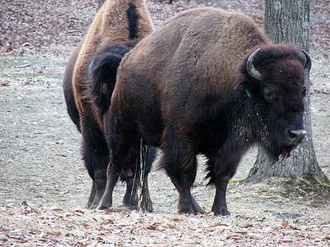 american bison behaviour